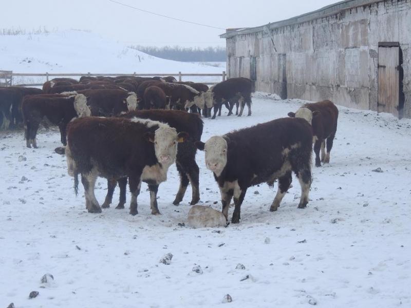 Коровы гуляют по снегу