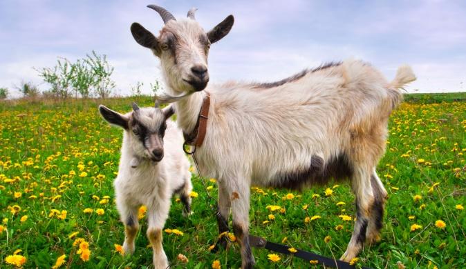 Коза и козлик