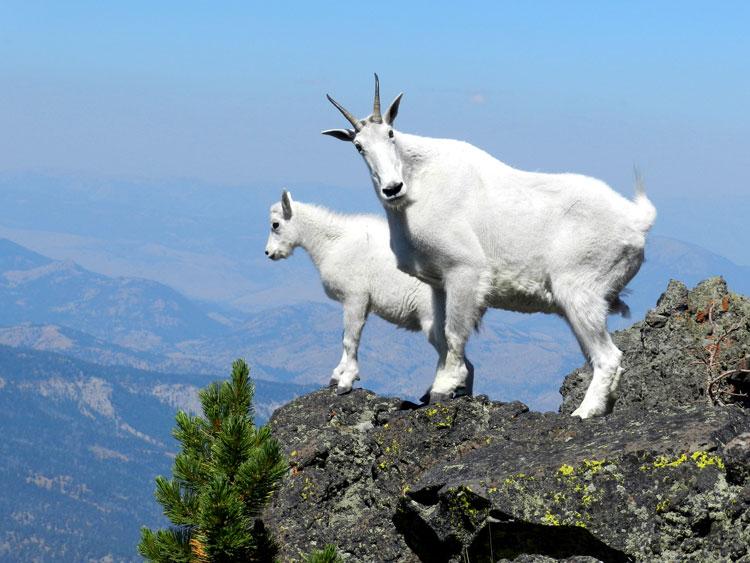 Коза и козёл