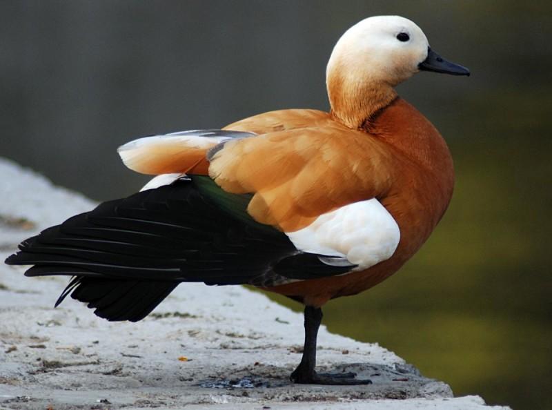 Красивая птица - огарь