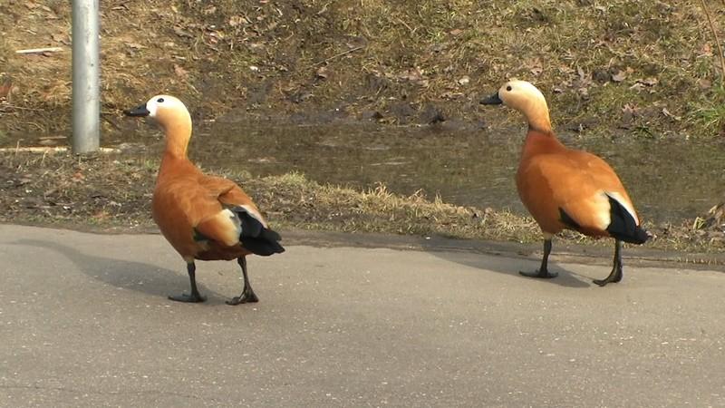Утки огарь, идущие на выгул