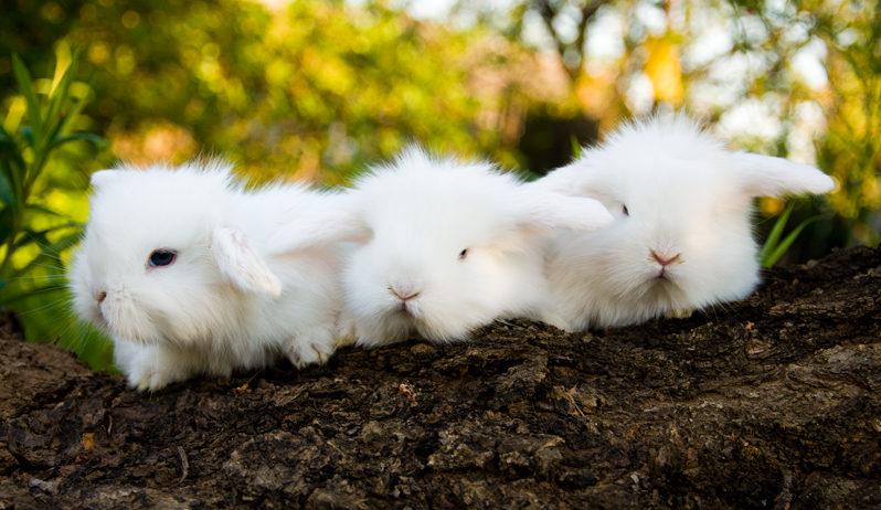 Крольчата ангорской породы