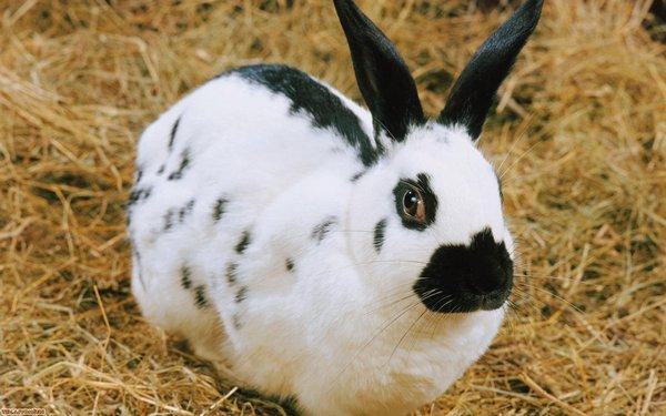 Кролик-бабочка - классический экземпляр