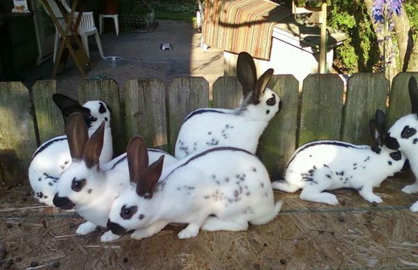 Кролик-бабочка - подросший молодняк