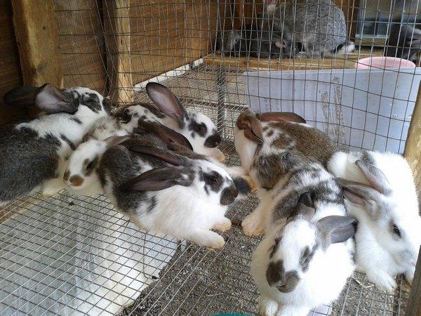 Клеточное содержание кроликов-бабочек