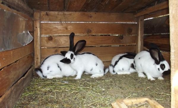 Кролики-бабочки в вольере