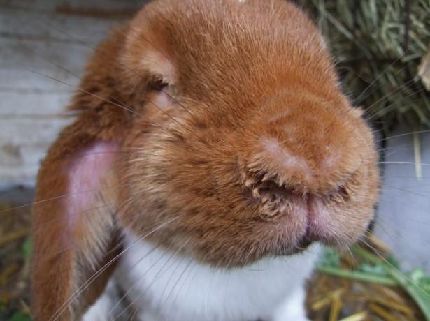 Кролик болеет стоматитом