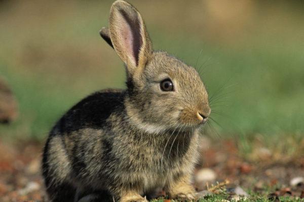 Кролик со здоровым ухом