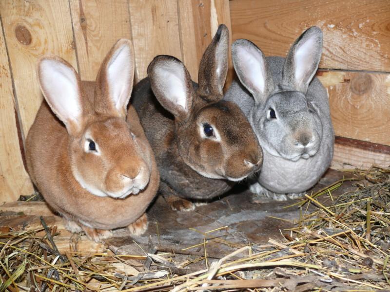 Три кролика сидят