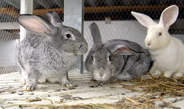 Три кролика в клетке