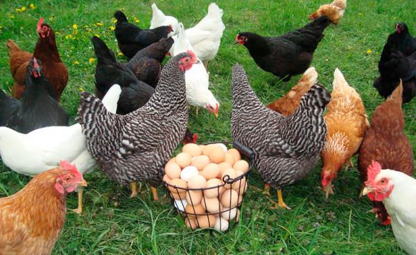 Куры на траве рядом с яйцами