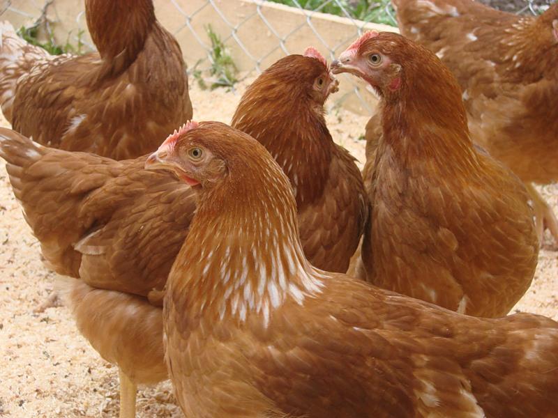 Коричневые курицы с маленькими гребешками