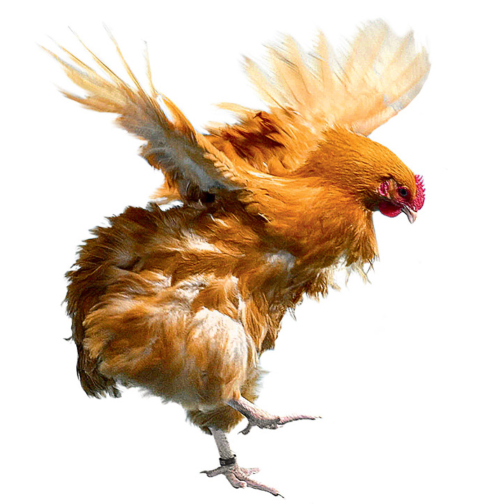 Курица взмахивает крыльями