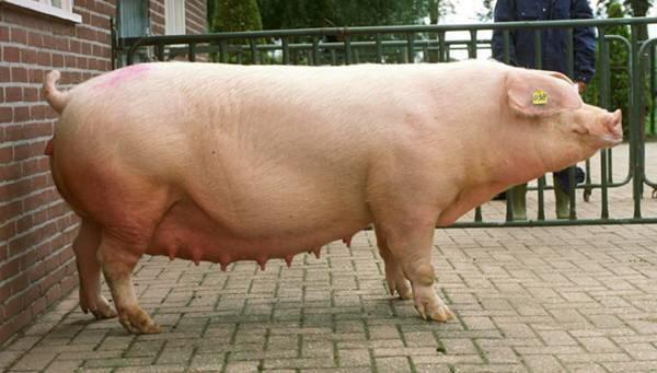 Мясная порода Ландрас