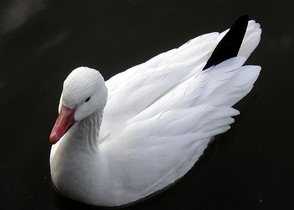 Сидящий Белый гусь на черном фоне