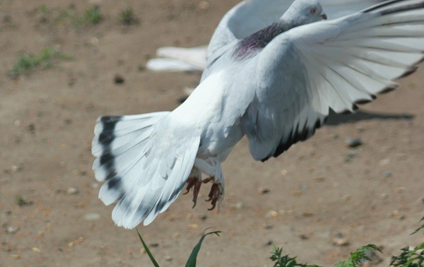 Летящий белый касан