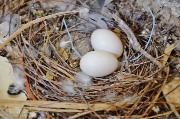 Голубиное гнездо с двумя яйцами