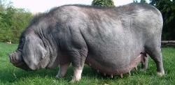 Свиноматка мейшан
