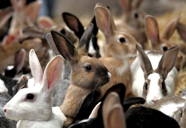 Много разноцветных кроликов