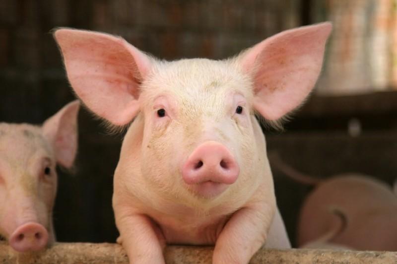 Молодой поросенок белой свиньи