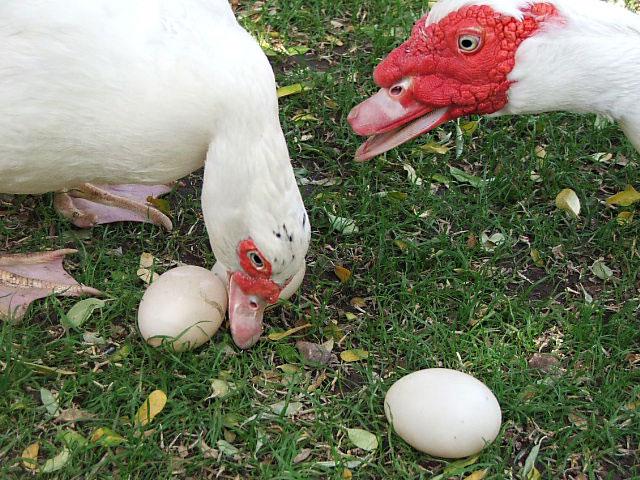 Утка и селезень возле яиц