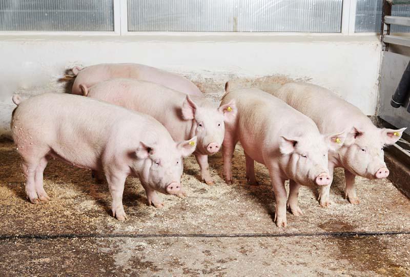 Несколько белых свиней