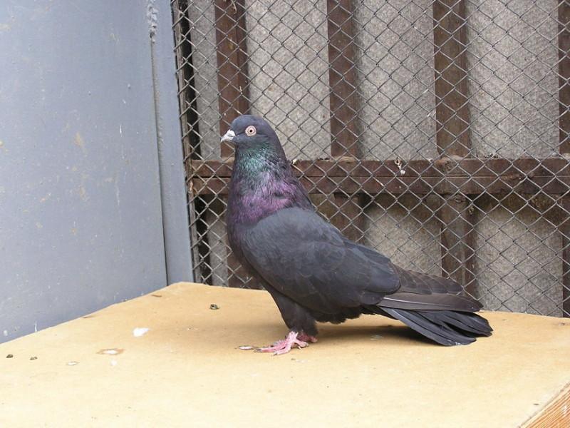 Николаевский голубь в профиль