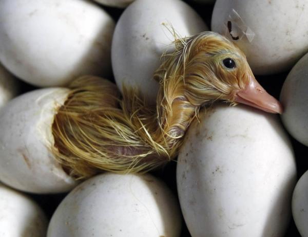 Только что вылупившийся утенок среди яиц