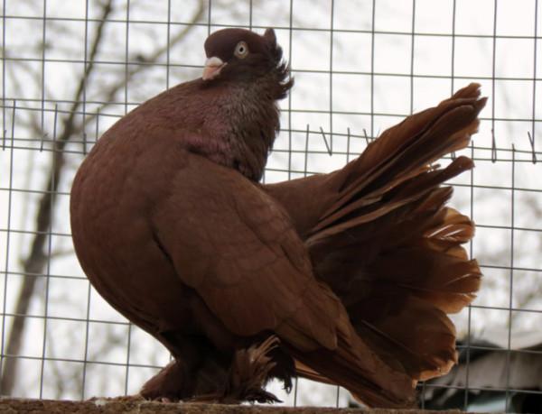 Представитель породы Статные голуби