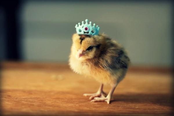Маленький цыпленок в короне