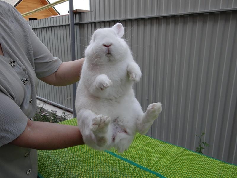 Определяем пол у кролика