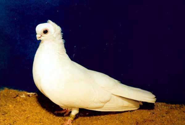 Орловский белый