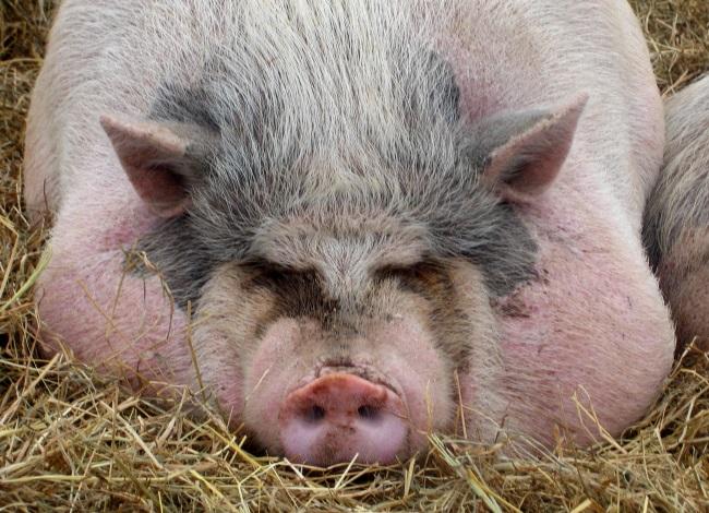 Откормленная на сало свинья