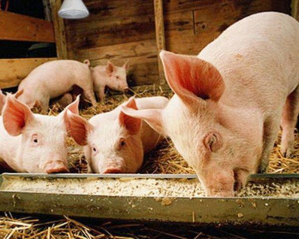 Процесс откорма свинок