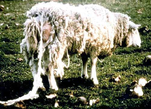 Овца с псороптозом