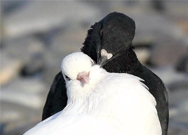 Пара голубей во время ухаживаний