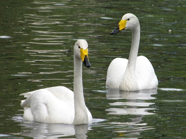 Пара тудровых лебедей