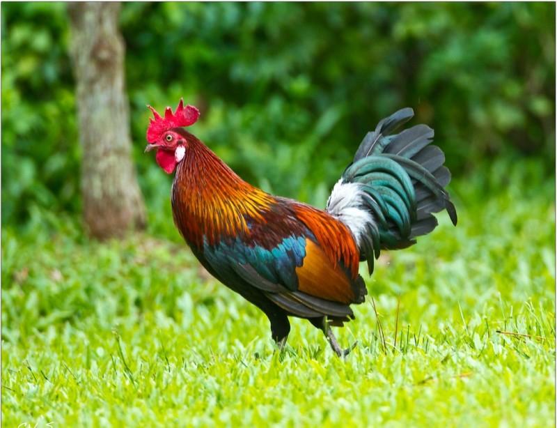 Красивый петух с разноцветным опереньем на траве