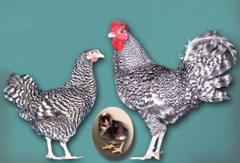 Петух и курица Амрокс с цыпленком черного цвета в яйце
