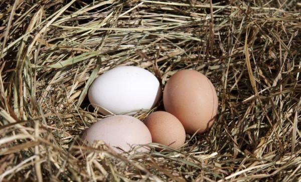 Разные по величине яйца в гнезде