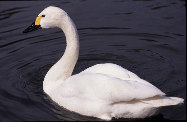 Представитель малого лебедя