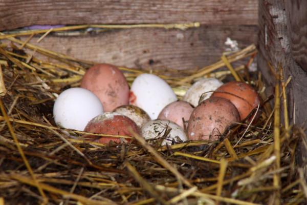 Грязные яйца курицы