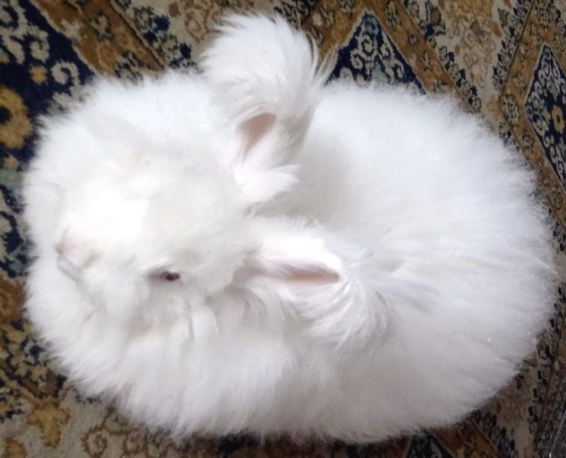Пуховый ангорский кролик