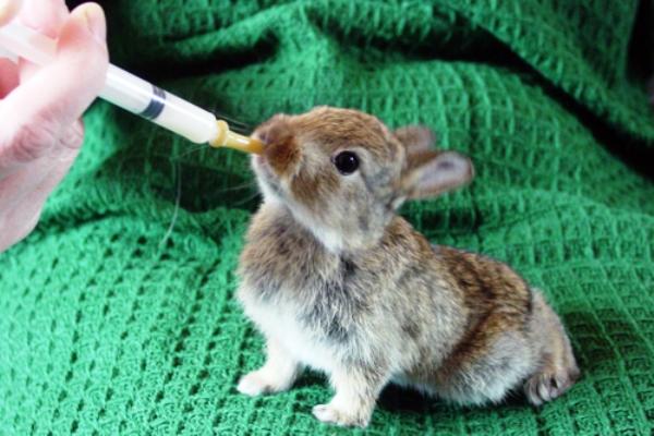 Кролик ест из шприца