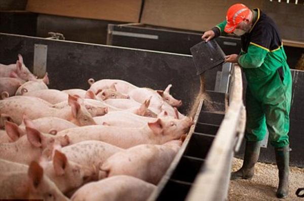 Рабочий кормит свиней