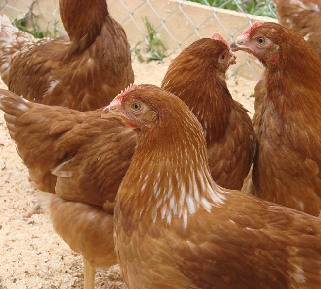 Подросшие курицы Редбро в клетке