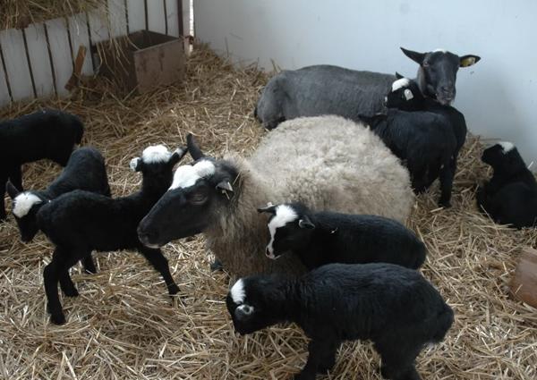 Две овцы со своими ягнятами в вольере