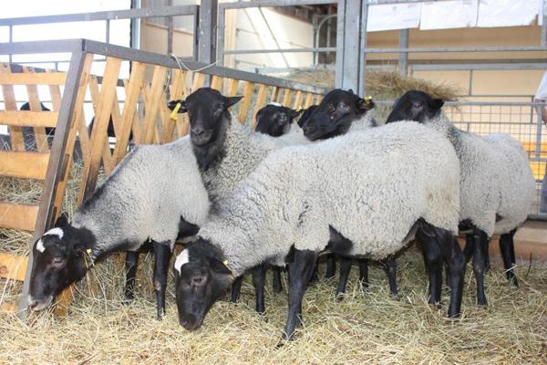 Несколько романовских овец в загоне