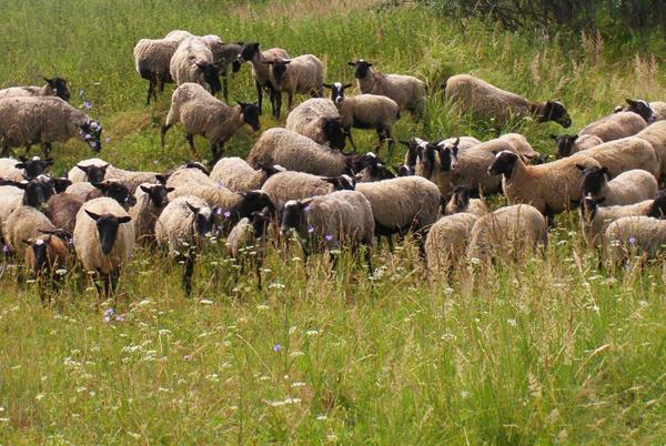 Большое стадо овец на выпасе