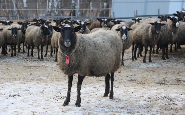 Большое стадо романовских овец